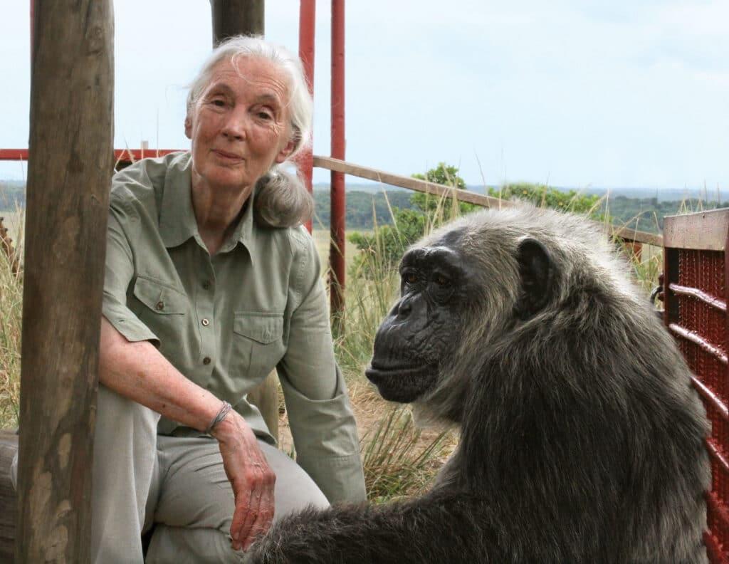 Jane Goodall et un chimpanzé